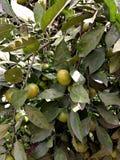 Mandarinier Images stock