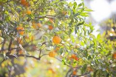 Mandarinier avec les fruits m?rs Arbre de mandarine Arbre d'agrume image stock