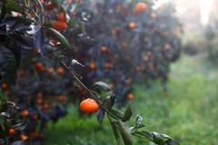 Mandarino arancio sull'albero Mandarino maturo Fotografia Stock Libera da Diritti