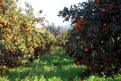 Mandarino arancio sull'albero Mandarino maturo Immagine Stock