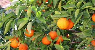 Mandarino con i frutti maturi archivi video