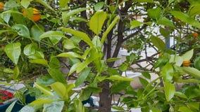Mandarino con i frutti nel clima Mediterraneo, alimento sano organico stock footage