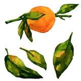 Mandarino dell'acquerello su fondo bianco Fotografie Stock Libere da Diritti