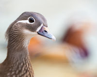 Mandarino Duck Hen Fotografie Stock