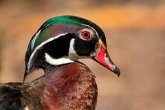 Mandarino Duck Portrait Fotografia Stock Libera da Diritti