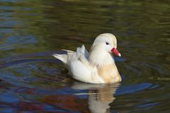 Mandarino Duck Swimming Immagine Stock