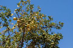 Mandarino marocchino Immagini Stock Libere da Diritti