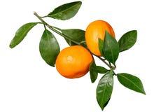 Mandarino maturo due con le foglie su un ramo, isolato Fotografia Stock Libera da Diritti