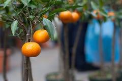 Mandarino sull'albero immagine stock