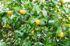 Mandarino sull'albero Fotografia Stock Libera da Diritti