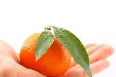 Mandarino umano della holding della mano con i fogli Fotografia Stock Libera da Diritti