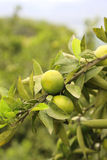 Mandarino verde Fotografie Stock