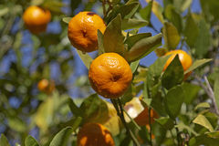 Mandarins. On a tree Stock Image