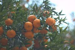 mandarins Fotografia de Stock