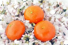 Mandarins on a bed of flowers Stock Images