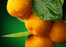 Mandarins branch. With water drops on dark green background Royalty Free Stock Photo