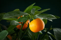 Mandarins branch. With water drops on dark green background Royalty Free Stock Image