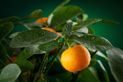 Mandarins branch. With water drops on dark green background Royalty Free Stock Images