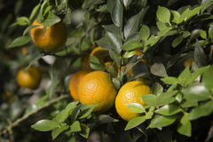 Mandarins  on a branch. Mandarins grow on a branch Royalty Free Stock Images