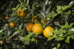Mandarins  on a branch. Mandarins grow on a branch Royalty Free Stock Photo