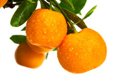 Mandarins with drops of water Royalty Free Stock Image