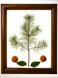 Mandarins with green leaf in the frame. Royalty Free Stock Photo