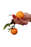 Mandarins in hand. Stock Images