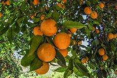 Mandarins op de boom, Oranje boom Royalty-vrije Stock Fotografie