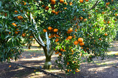 Mandarins pickup in the orchard Stock Images