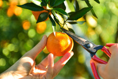 Mandarins pickup in the orchard. Ripe juicy sweet orange mandarins on a tree in the mandarin orchard. Selective focus Royalty Free Stock Photo