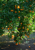 Mandarins pickup in the orchard Royalty Free Stock Photography