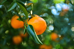 Mandarins pickup in the orchard Stock Image