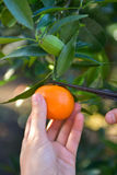 Mandarins pickup in the orchard Stock Photography