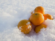 Mandarins in snow. Frosty sunny day Stock Photography