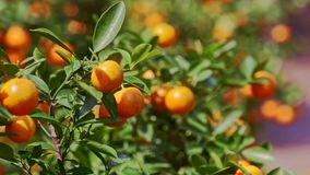 Mandarins with Sun Brightness on Sides in Tree Leaves. Tangerines on tree branch with sun brightness on sides among green leaves before Vietnamese new year TET