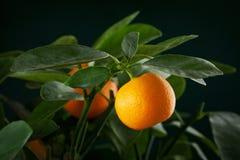 Mandarins tak Royalty-vrije Stock Afbeelding