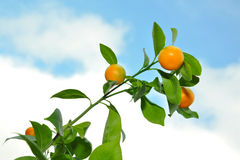 Mandarins on tree branch against blue cloudy sky. Mandarin tree branch on background of blue skies with clouds Royalty Free Stock Photo