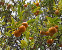 Mandarins on the tree Stock Images