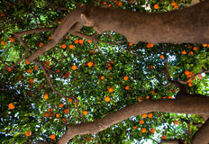 Mandarinträd. Barcelona. Royaltyfri Foto