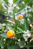 Mandarinträd med frukter och blomningar Arkivfoton