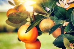 Mandarinträd med nya frukter och blomningar Fotografering för Bildbyråer