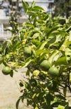 Mandarinträd med söta frukter Royaltyfri Fotografi