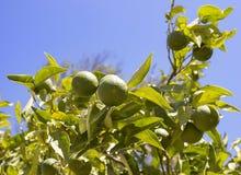 Mandarinträd med söta frukter Arkivfoton