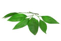 Mandarynów liście Zdjęcie Stock