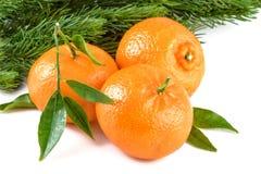 Mandarynów Tangerines jodły Bożenarodzeniowa gałąź Zdjęcie Stock
