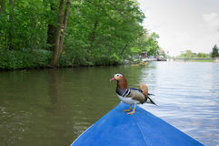 Mandaryn kaczka - Aix galericulata zdjęcie royalty free