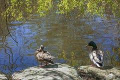 Mandaryn kaczka w stawie Zdjęcia Royalty Free