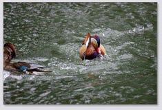 Mandaryn kaczki bawić się w wodzie Zdjęcia Royalty Free