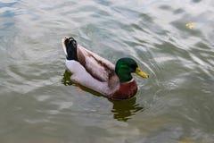Mandaryn kaczki obruszenie przez jeziora zdjęcie royalty free