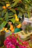 Mandaryn owoc Zdjęcia Royalty Free